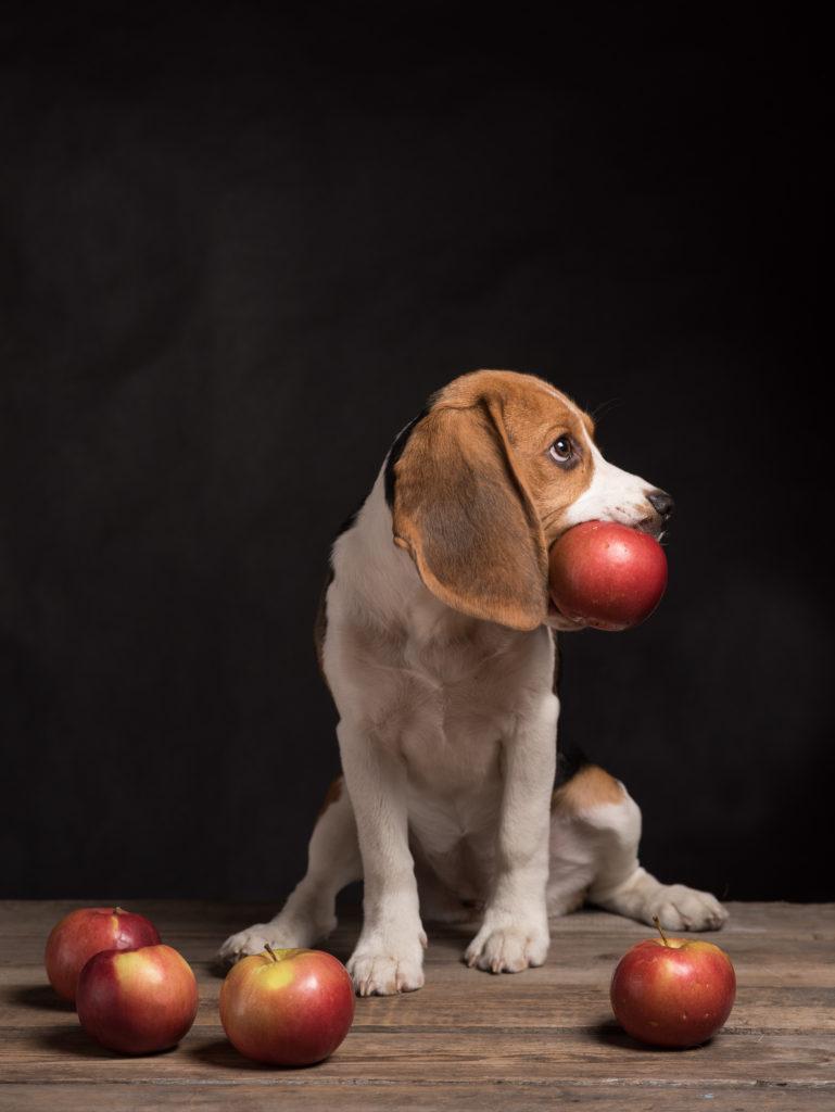 beagle puppy apple
