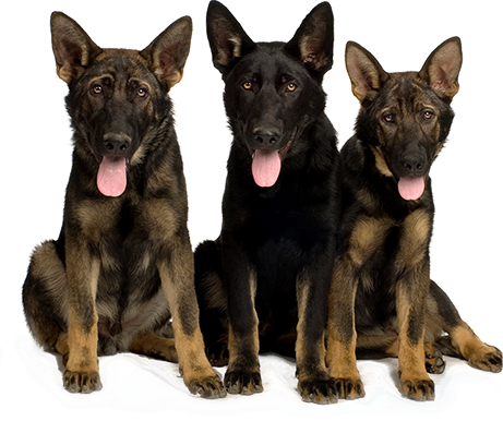 black shepherd group of dogs tongues out rotational feeding