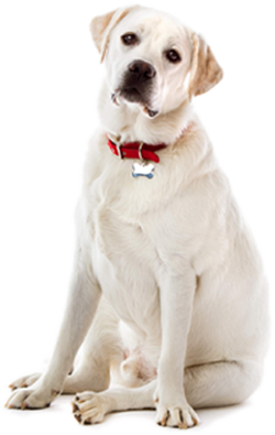labrador retriever adult dog yellow feeding guidelines