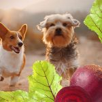 nutrition health benefits beet pulp dogs