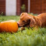 nutrition health benefits pumpkin dogs