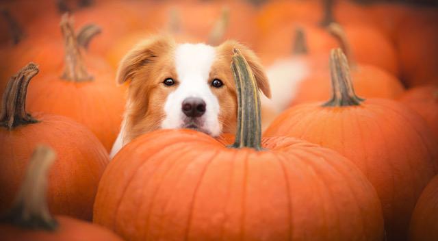 rescue dog white tan pumpkin patch