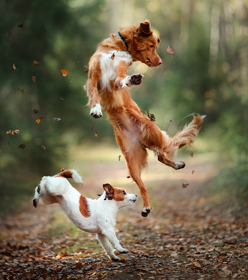 two dogs leaping leaves